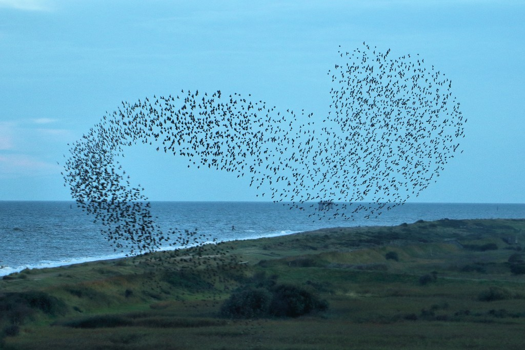 Starling Murmuration at RSPB Minsmere. Photo by Airwolfhound